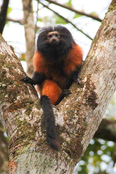 Um dos animais gravados foi o primata mais raro do mundo. O Mico Leão da Cara Preta.