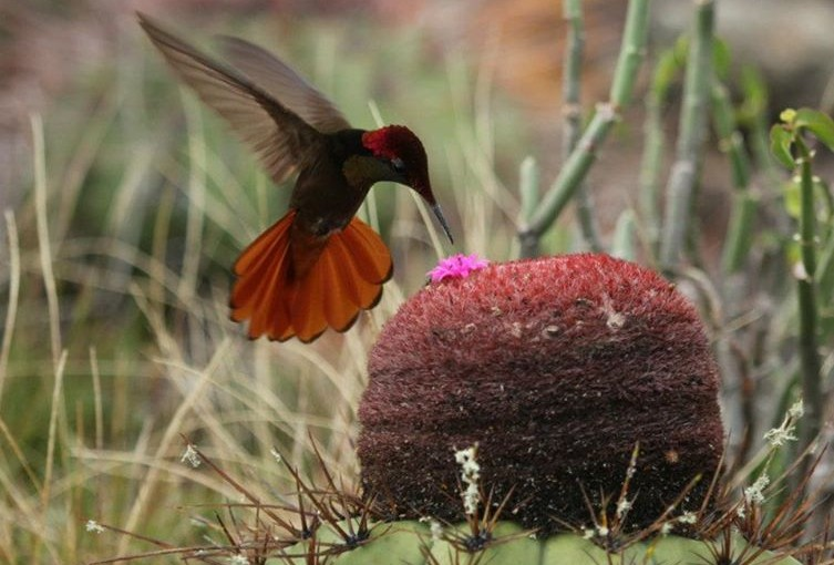 """Gravando beija-flores a 1100 frames por segundo. """"Hummingbirds – Jewelled Messengers"""""""
