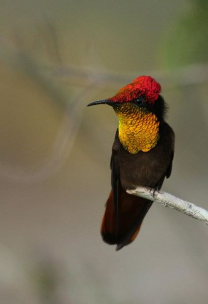 O beija-flor vermelho guarda seu território.